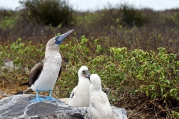 Blue-footed-boobies-galapagos-islands